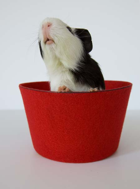 Audrey The guinea pig In An Upturned Fez