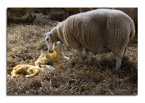 mother_and_new_born_lambs