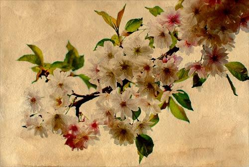 cherry-blossom-antique