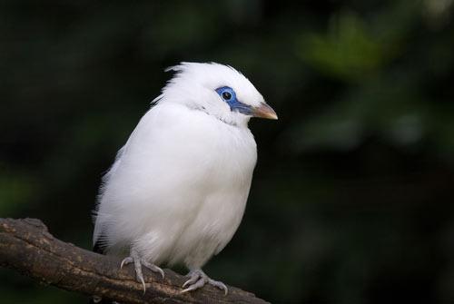 Balit Starling