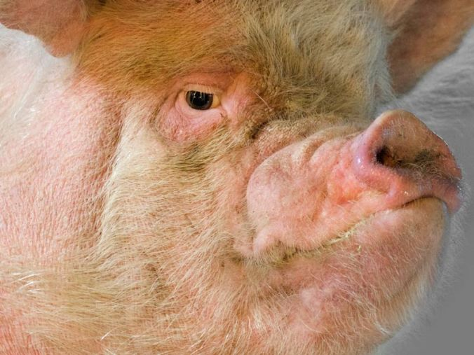 The Pig In Denial