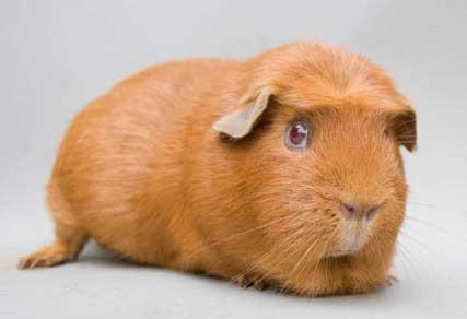 Crested guinea pig - photo#34
