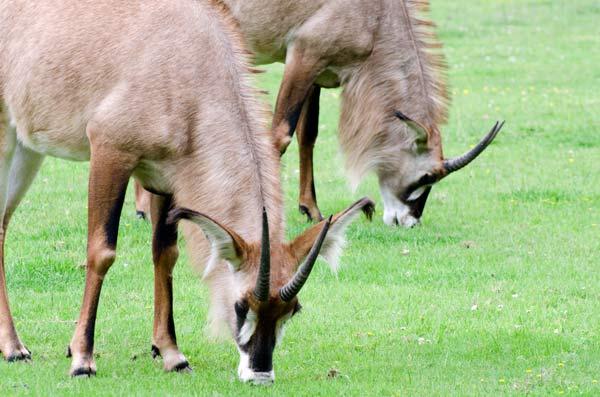 two roan antelope