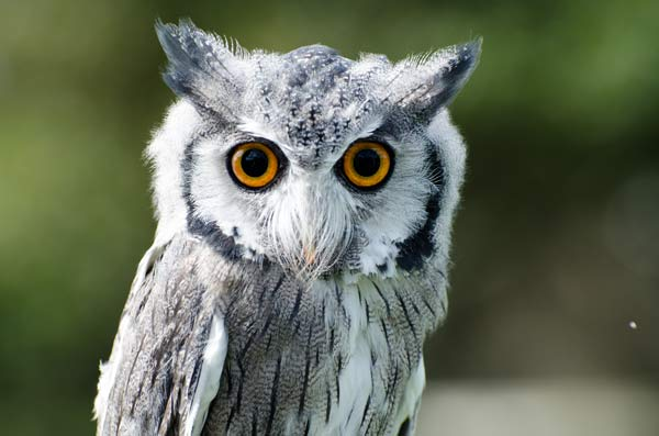 photo of a White-faced Scops owl