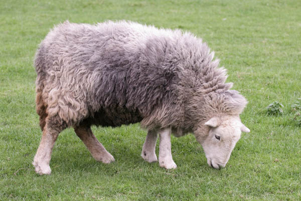 Herdwick Sheep Eating Grass