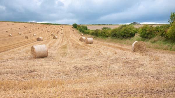 cornfield after harvest showing corn rolled in hug circular bundles