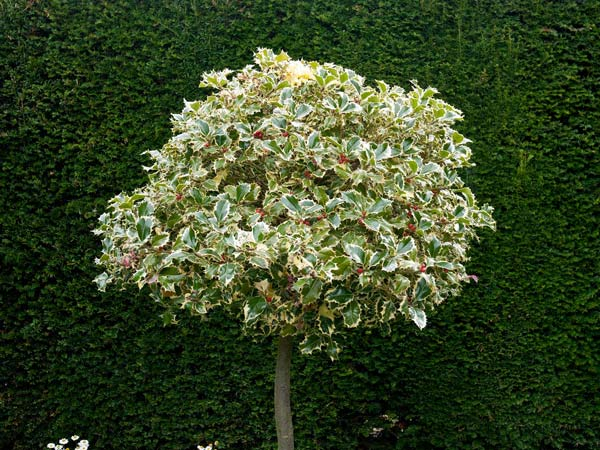 photo of a variegated Holly tree against a dark green hedge