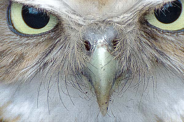 owl's face close-up