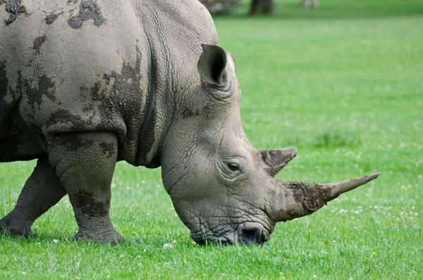 White Rhino - A Quillcards Ecard