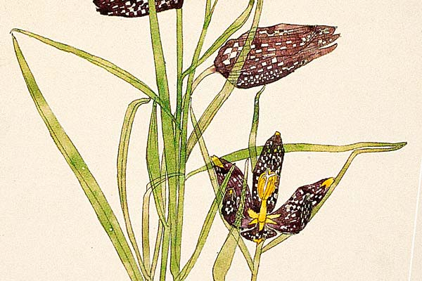 snakes-head-fritilliaries-close-up