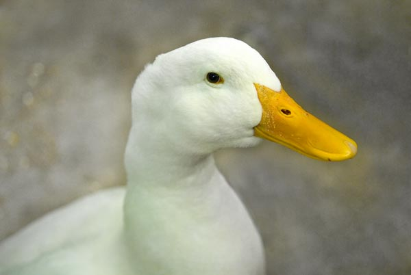 white duck with yellow bill