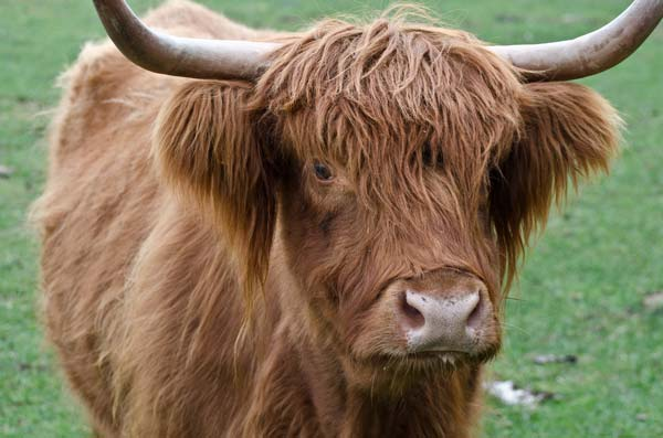 highland cow full view