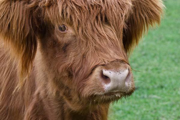 highland cow close up three quarters view