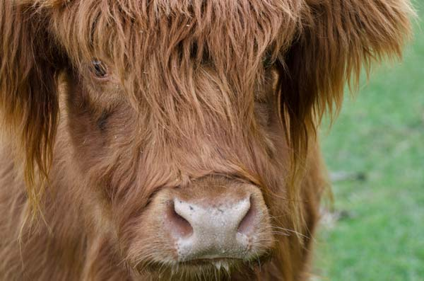 close up of the face of a highland cattle breed