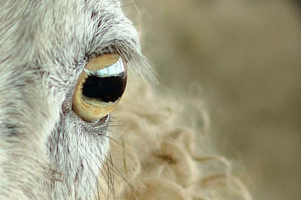 sheep eye