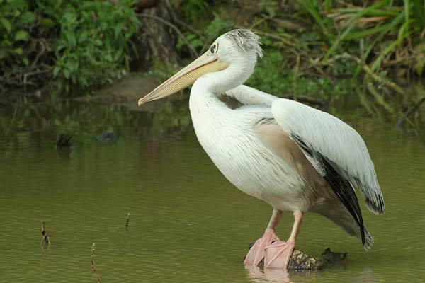 A wonderful bird is the pelican