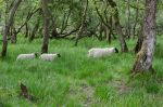 sheep-among-the-trees