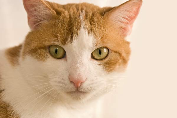Original Cat