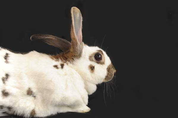 rabbit-version-1