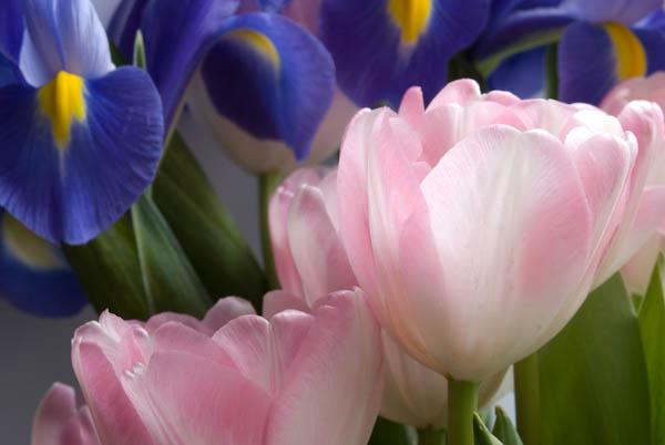 Irises-and-tulips-00319