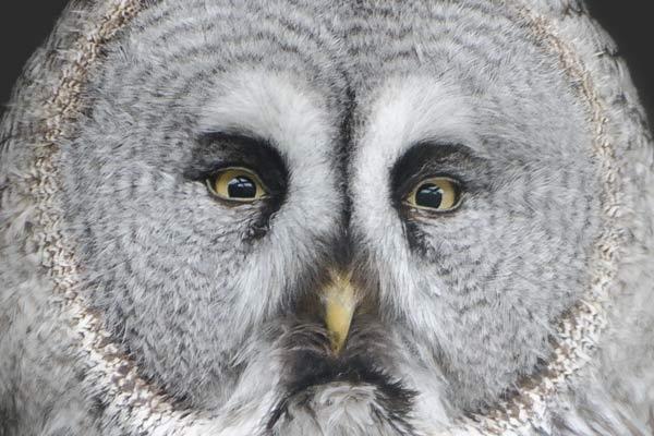 warrior-owl
