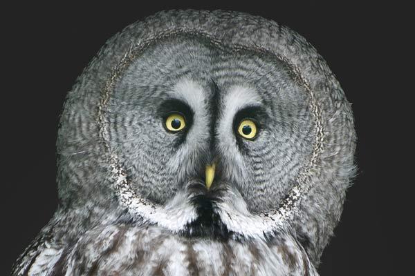 worrier-owl