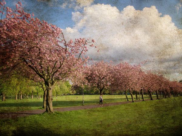 Cherry Blossom in Edinburgh