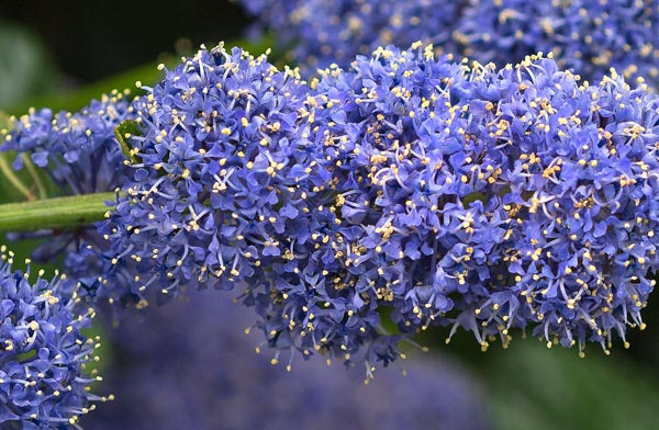 Ceanothus Close-Up