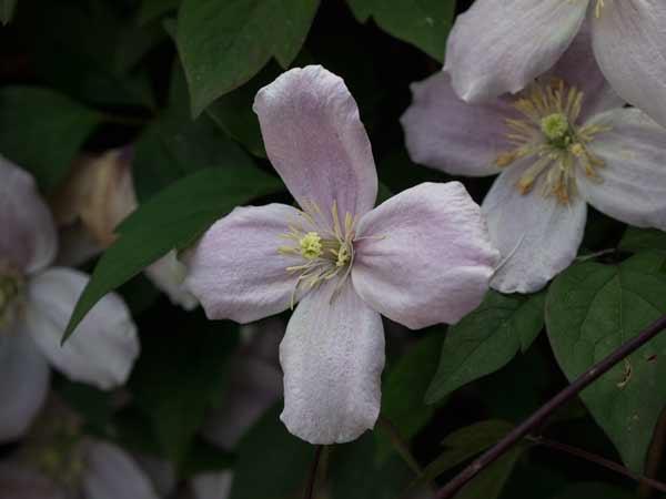 clematis-flower