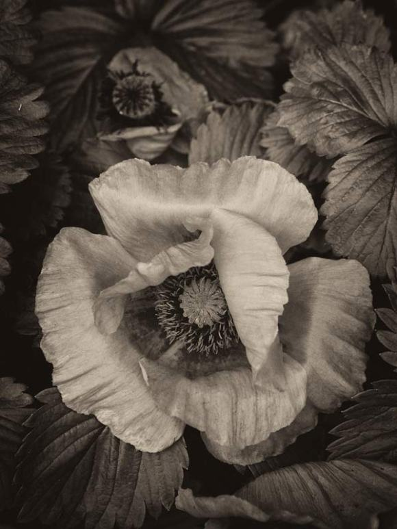 poppy-sepia-toned