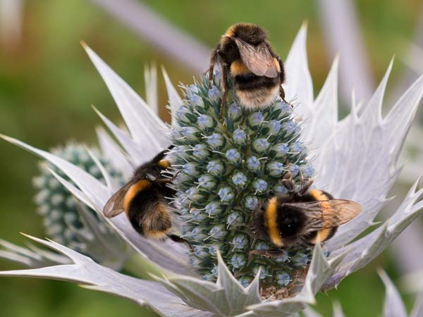 Bees On Thistle Close Up