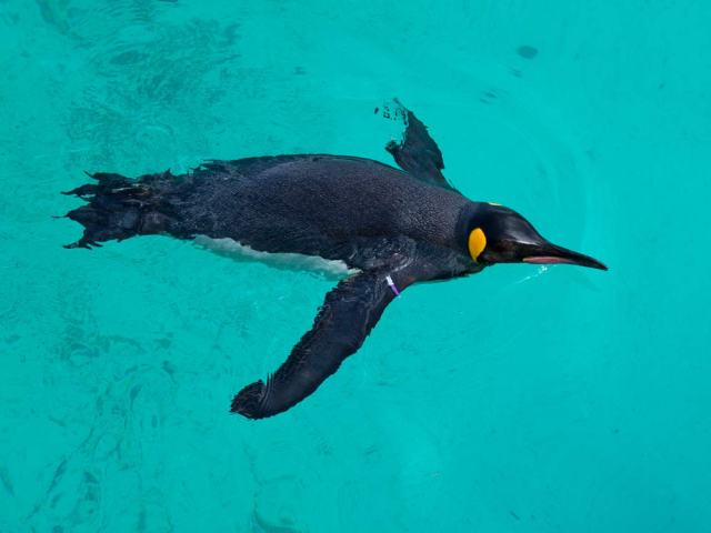 King Penguin Breaking The Surface