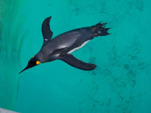 King penguin swimming - viewed from above.