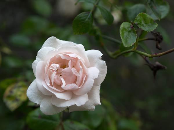 Rose Pink Rose