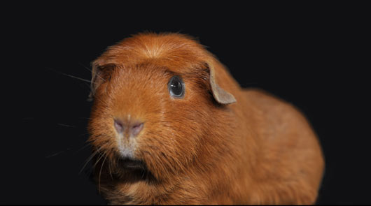 make-it-a-habit-to-cuddle-a-guinea-pig
