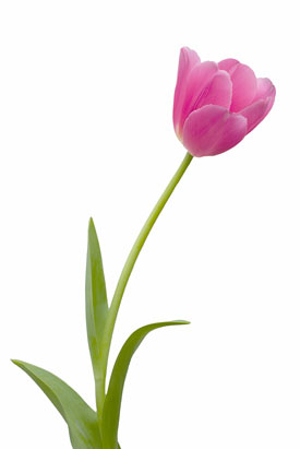 tulip-before