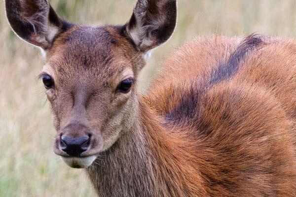deer-close-up