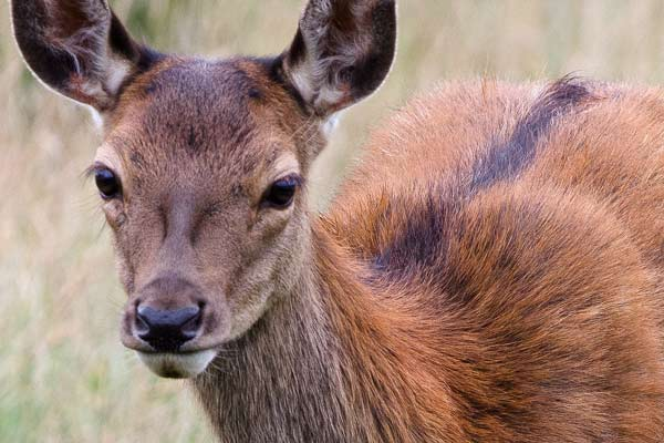 deer-close-up