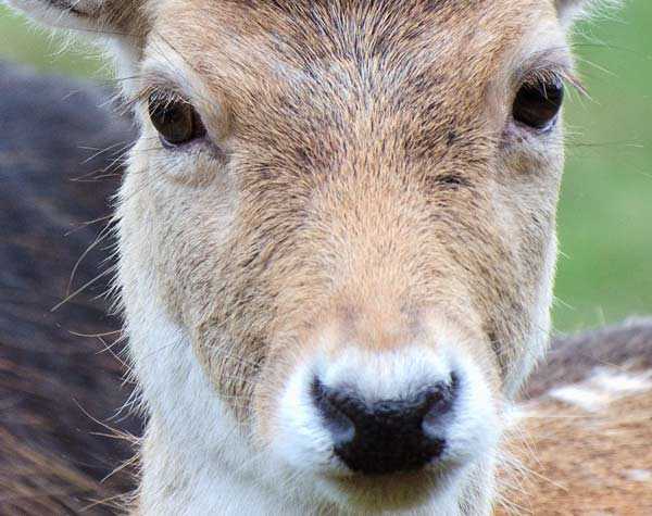 deer-one-close-up