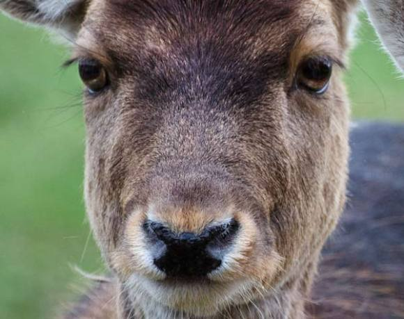 deer-two-close-up