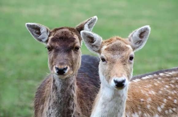 two-deer