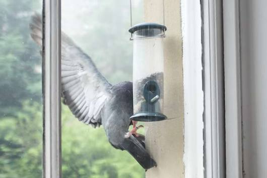 pigeon-defeats-bird-feeder-closeup