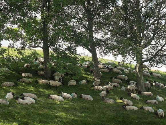 sheep-under-trees