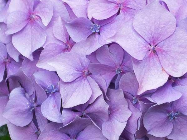 hydrangea-closeup