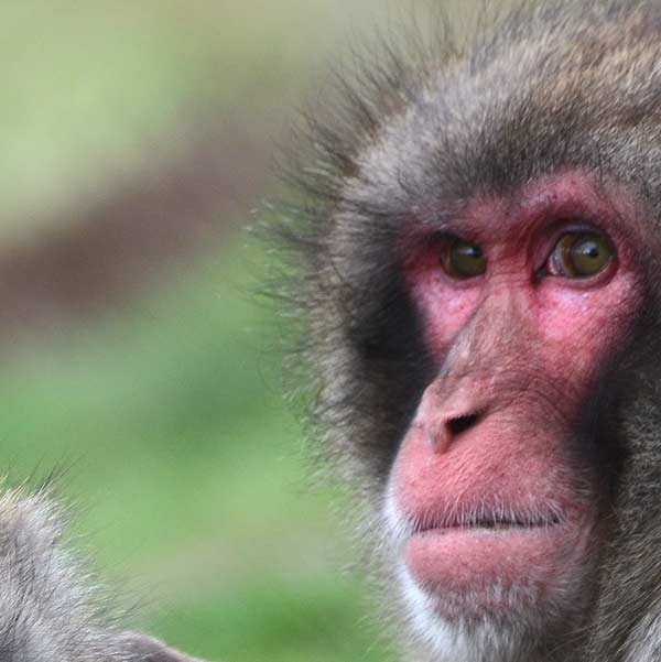 monkey-closeup