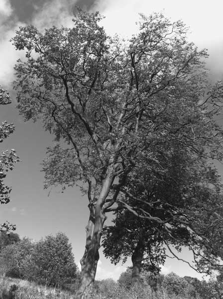 second-tree-in-black-and-white