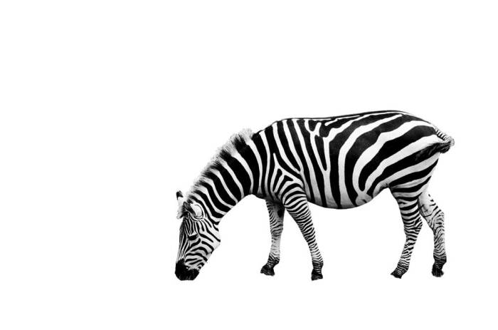 zebra-black-and-white-on-white