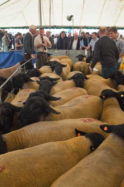 kelso-herding-rams-to-the-ring