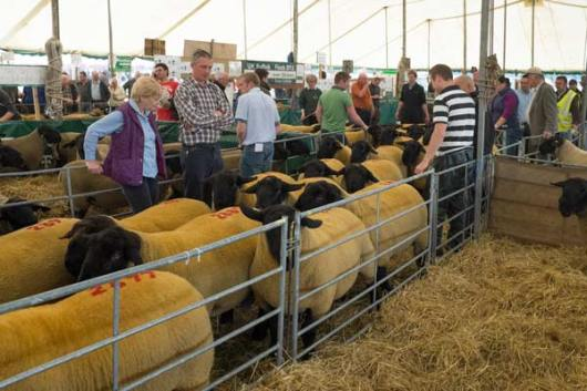 kelso-suffolk-rams-leaving-the-auction-ring