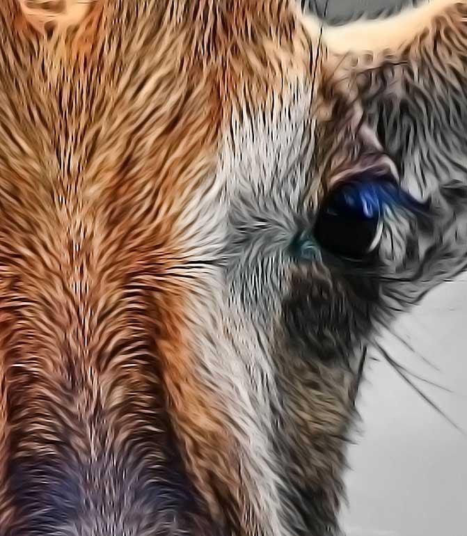 roan-antelope-closeup